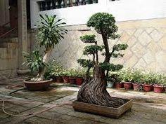 How to Begin A Bonsai Tree