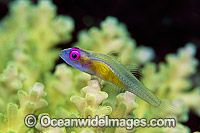 Purple-eyed Goby on Coral