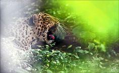 Leopard by Sharath Shivakumar on 500px