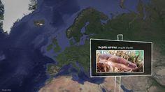 Proyecto Anguila. La anguila europea: remontando el Segura