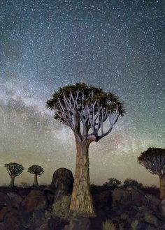 """""""Izar"""" : Constellation du Bouvier - Arbres les plus vieux d'Afrique"""