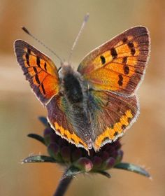 Small copper, American copper or Common copper (Lycaena phlaeas) Butterfly Games, Butterfly Photos, Butterfly Kisses, Butterfly Art, Butterfly Project, Types Of Butterflies, Flying Flowers, Beautiful Butterflies, Butterfly Species