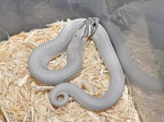 Someday I'll have one of these liquid silver babies. Axanthic superconda western hognose