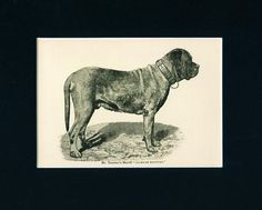 ANTIQUE Dog Print 1892 Champion English Mastiff Dog