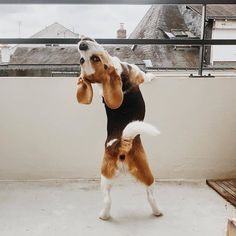 Treating Inflammatory Bowel Disease In Dogs Baby Beagle, Beagle Puppy, Beagle Colors, Shiba Inu, Cute Beagles, Pet News, Dog Wallpaper, Cute Dogs And Puppies, Doggies