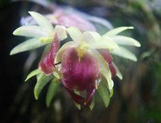 Epidendrum megalospathum