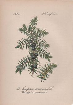 1880 Antique Botanical Print Plant Illustration Juniperus