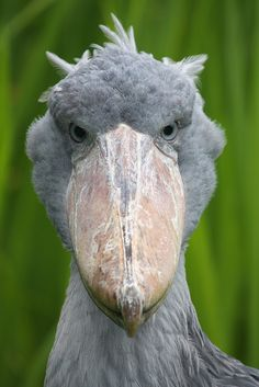 Shoebill by bayucca (Balaeniceps rex) also known as Whalehead or Shoe-billed Stork, is a very large stork-like bird. It derives its name from its massive shoe-shaped bill. en.wikipedia.org/... #Bird #Shoebill