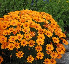 "Ursinia anthemoides Solar Fire Blooms in winter, 20"" wide."
