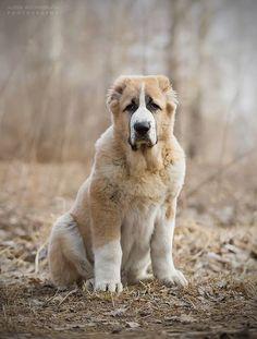Alabai dog breed (Central Asian Shepherd)