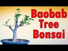 Baobab Tree Bonsai | kalpavriksha Care | African baobab tree | Hindi Urdu - YouTube Baobab Tree, Bonsai, Kitten, Trees, African, Youtube, Plants, Cute Kittens, Kitty