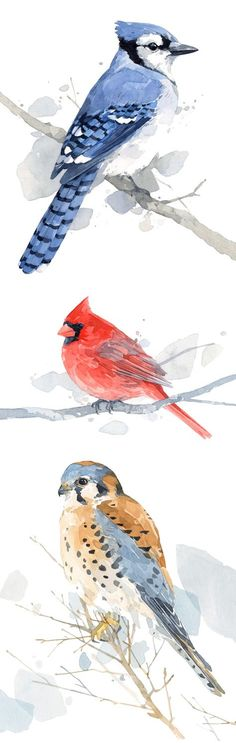 Bird watercolor prints by david scheirer. Blue Jay, Cardinal, American Kestrel