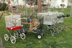 Bird's greatly benefit from fresh air and sunshine, both physically and mentally. If you live where you can't have your parrots in an outdoor aviary, the Cageoller (combining a cage and a stroller) is a really creative alternative. This site has a downloadable pamphlet on how to build one :>