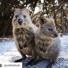 Who needs a man when you have a #quokka ?! I'm f%&king going to #rottnestisland. NOW.  #Repost @quokkahub with @repostapp  Hello ladies. We're here for you today.  Photo by @constmm02 #quokka #rottnestisland #rottnest #westernaustralia #perth #australia by vbader67 http://ift.tt/1L5GqLp