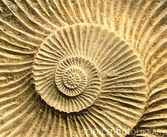 Spiral shape of a fossilised ammonite shell, so precise~