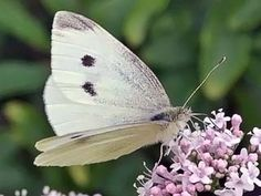 Naurisperhonen, Pieris rapae - Perhoset - LuontoPortti