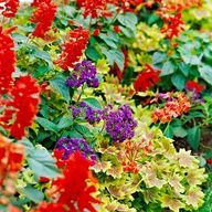 Put Flowers All Together! Great combination offers a little of everything. Tall 'Red Hot Sally' salvia creates a bold layer of color and texture over the variegated leaves of 'Vancouver Centennial' geranium. It's topped off by a splash of color from fragrant 'Marine' heliotrope.  So stunning all together, love that!!