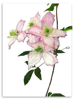 Anna Knights - contemporary botanical paintings - botanical art - original watercolours - flower paintings - fruit paintings - vegetable paintings - limited edition giclee prints - greetings cards