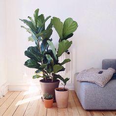 Fiddle leaf fig /  Geigenfeige / Ficus Lyrata Zimmerpflanzen /