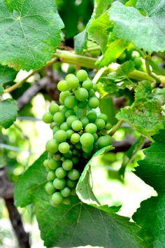 Bodega Los Berrazales in Gran Canaria – a must-visit vineyard
