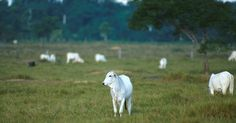 A Rainforest Without Rain? How Cattle Ranching Is Causing Drought In The Amazon… | The Rainforest Site Blog