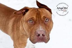 Check out Boyd's profile on AllPaws.com and help him get adopted! Boyd is an adorable Dog that needs a new home. https://www.allpaws.com/adopt-a-dog/american-staffordshire-terrier/83679?social_ref=pinterest    pls.visit www.lilospromise.com