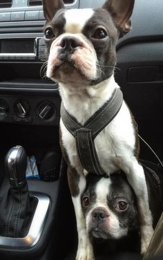 This is so what my two Boston Terriers do. Louise is a bit bigger than Thelma. What a hoot they are.