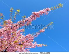 pink cherry blossoms with green leaf on blue sky.
