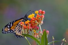 Milkweed…it does a monarch good. New study ties milkweed to wing growth and successful migration.