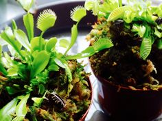 #VenusFlyTraps #CarnivorousPlants  We're an #UrbanOasis located in #Evanston #Illinois! We're filled with #Plants #Terrariums  #Furniture #Books #Art and more! #ShopEvanston #ShopLocal #PetFriendly #Community  #MainSt #UrbanRainforestAndGallery by cultivate_shop