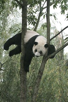 Amazing Giant Panda: Endangered Species, Giant Pandas Facts, Photos, Information, Habitats, News
