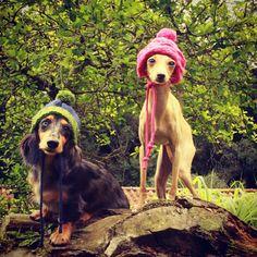 Bowie e Giulietta   #ItalianGreyhound #dog #salatino #clubesalatino #canil…
