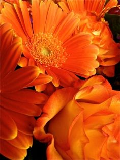 Orange Gerberas say 'You are my sunshine'. Gerber daisy = innocence and purity and an added meaning of cheerfulness Colorful Roses, Orange Flowers, Orange Color, Beautiful Flowers, Orange Orange, Yellow, Orange Candy, Burnt Orange, Beautiful Places