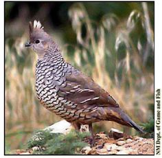 Quail Biology Study | AZQuailToday.com
