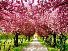 Cherry Tree Lane, Ferrara, Italy.  So pretty.