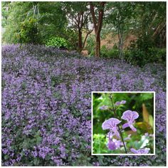 Mona Lavender (Plectranthus) is a shade loving plant one amongst many for your shady spots Plants That Like Shade, Shade Loving Flowers, Growing Flowers, Planting Flowers, Flower Plants, Flower Beds, Tomato Planter, Shade Garden Plants, Garden Whimsy