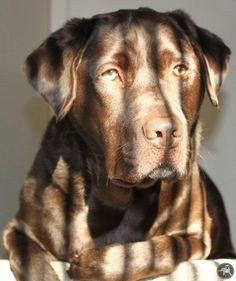 Chocolate Labs Labrador Retriever #LabradorRetriever