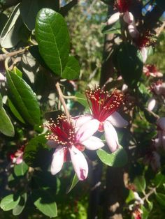 Do you know what this is? It's evergreen, drought-tolerant, deer-resistant, and it produces edible flowers and fruit! ✿    .           ............................................................................................................................................................................................Answer: Pineapple Guava
