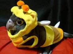 Conure in bee costume. Even bird owners dress their pets. lol