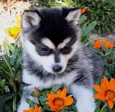 Cute Puppies, Cute Dogs, Dogs And Puppies, Beautiful Dogs, Animals Beautiful, Alaskan Klee Kai Puppy, Animals And Pets, Cute Animals, Dog Day Afternoon