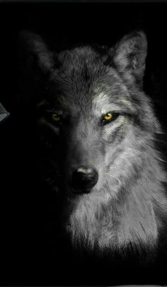 Wolf Images, Wolf Photos, Wolf Pictures, Tier Wallpaper, Wolf Wallpaper, Animal Wallpaper, Wolf Face, Wolf Eyes, Wolf Photography