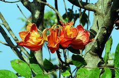 Flowers of the African Tulip Tree, these flowers look amazingly like red tulips.