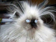 Is Your Cat Having a Bad Hair Day | Pictures of Cats - Band of Cats