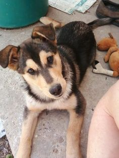 best breed ever, so beautiful! Shepherd Mix Dog, German Shepherd Mix, Adorable Animals, Animals Beautiful, Puppy Love, Husky, Fur, Puppies, Dogs