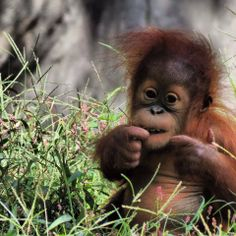 U R telling me these R NOT native grasses? Monkey Pictures, Cute Animal Pictures, Primates, Cute Baby Animals, Funny Animals, Save The Orangutans, Baby Orangutan, Cute Monkey, Tier Fotos