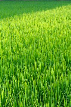 https://flic.kr/p/58PgDY | Flowing Green Rice