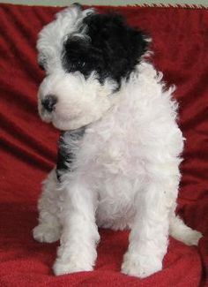 Portuguese Water Dog Pup. Super cute & Doesn't shed - what else do you need?