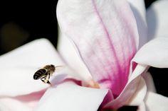 ape con magnolia