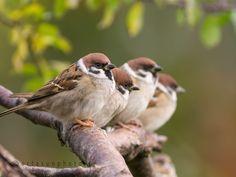Tree sparrows by Carlos Urtasun Birds In The Sky, All Birds, Cute Birds, Pretty Birds, Little Birds, Beautiful Birds, Sparrow Bird, House Sparrow, Parus Major