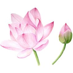 Lotus Blossom, watercolor painting ($18) ❤ liked on Polyvore featuring home, home decor, lotus flower home decor and lotus home decor